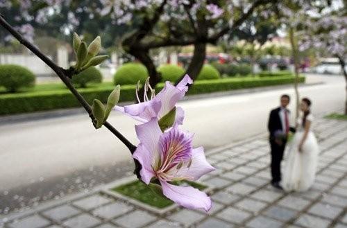 Ghé thăm những cung đường rực rỡ hoa ban giữa lòng Hà Nội - ảnh 7