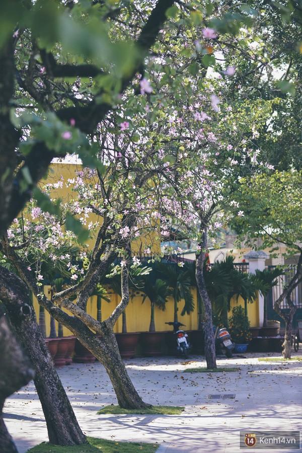 Ghé thăm những cung đường rực rỡ hoa ban giữa lòng Hà Nội - ảnh 5