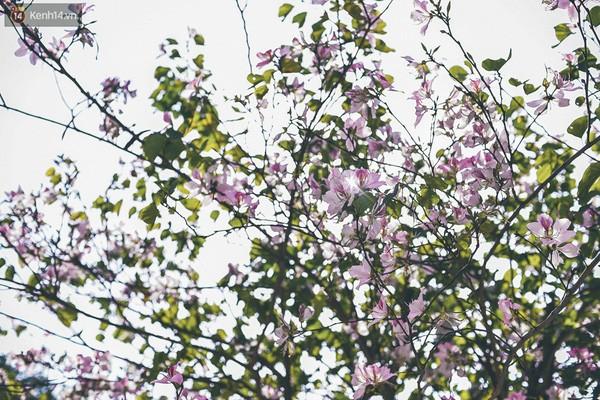 Ghé thăm những cung đường rực rỡ hoa ban giữa lòng Hà Nội - ảnh 4
