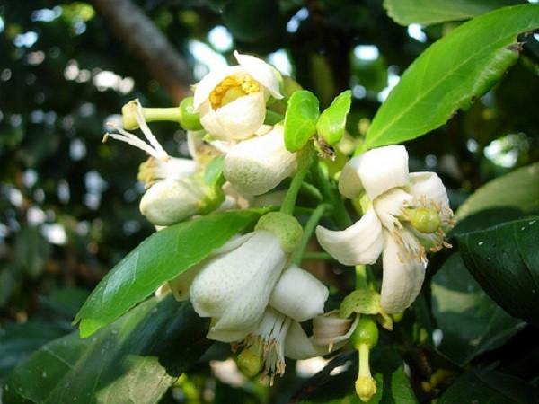 Tác dụng ít ngờ tới của hoa bưởi: Trị nhiều bệnh hiệu quả - ảnh 1