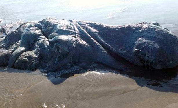 'Thủy quái' bí ẩn dài hơn 4m dạt vào bờ biển - ảnh 2