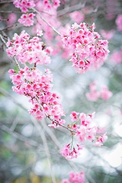 Đẹp mê đắm mùa mai anh đào ở Đà Lạt - ảnh 1