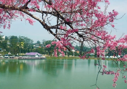 Đẹp mê đắm mùa mai anh đào ở Đà Lạt - ảnh 3