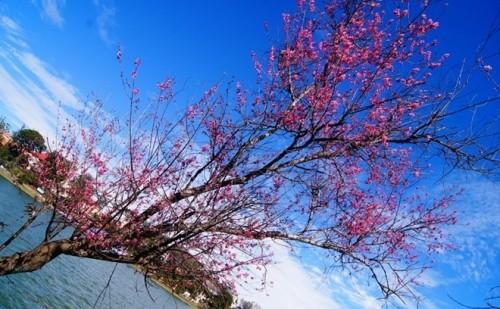 Đẹp mê đắm mùa mai anh đào ở Đà Lạt - ảnh 4