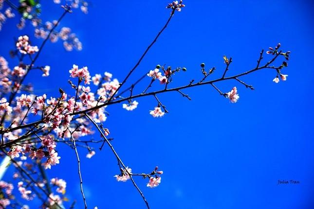 Đẹp mê đắm mùa mai anh đào ở Đà Lạt - ảnh 6