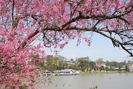 Đẹp mê đắm mùa mai anh đào ở Đà Lạt - ảnh 7