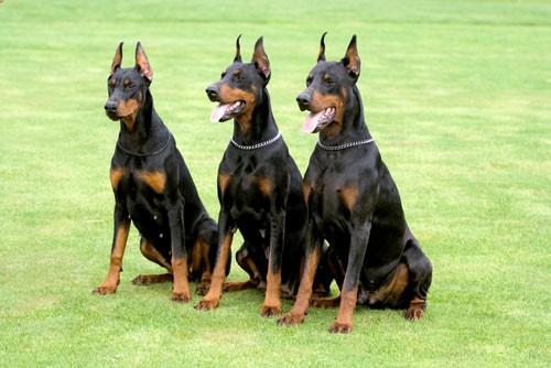 2 giống chó hung dữ cắn xé chủ nhân ở Hà Nội nguy hiểm mức nào? - ảnh 2