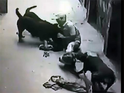 2 giống chó hung dữ cắn xé chủ nhân ở Hà Nội nguy hiểm mức nào? - ảnh 4