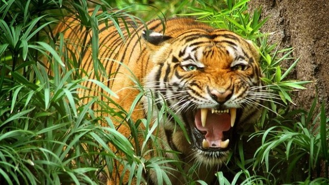 Bắc Kạn: Hổ hoang dã xuất hiện bắt bò của người dân? - ảnh 1