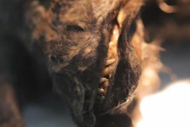 Rã đông xác ướp của chó từ 12.400 năm trước để hồi sinh - ảnh 2