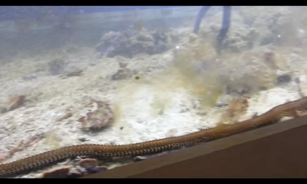 'Hết hồn' khi phát hiện con sâu dài gần 2m trốn trong bể cá - ảnh 1