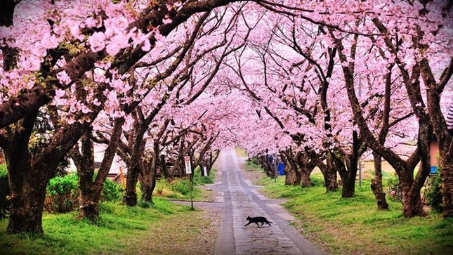 200 cây hoa anh đào Nhật Bản sẽ trồng ở Hà Nội có hợp đất? - ảnh 1