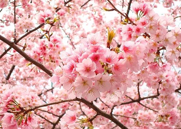 200 cây hoa anh đào Nhật Bản sẽ trồng ở Hà Nội có hợp đất? - ảnh 2