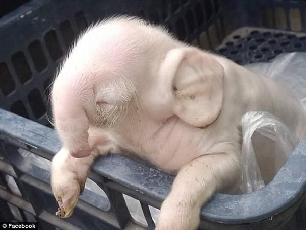 Lợn có hình dạng quái dị, có vòi và tai to giống hệt voi - ảnh 2