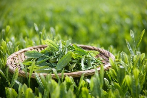 Những cách dùng 'sai bét' biến trà xanh thành thuốc độc - ảnh 1