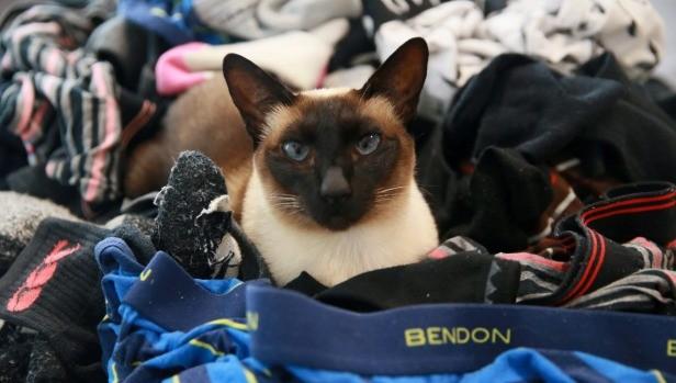 Mèo 'biến thái' bị bắt quả tang trộm đồ lót và tất đàn ông - ảnh 1