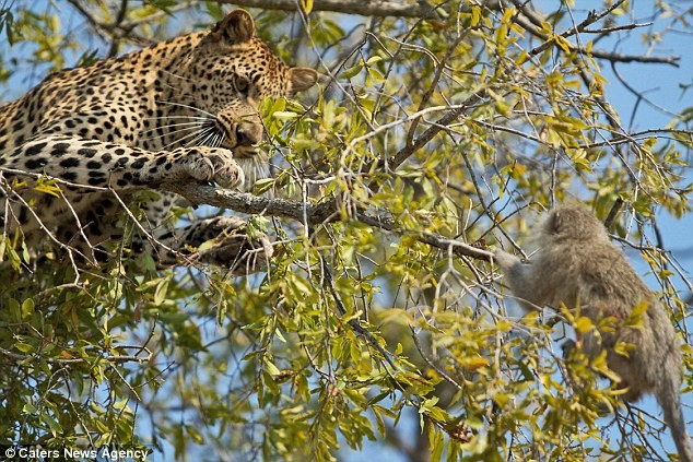 Ngoạn mục cảnh báo đốm vắt vẻo trên ngọn cây săn khỉ vervet - ảnh 4