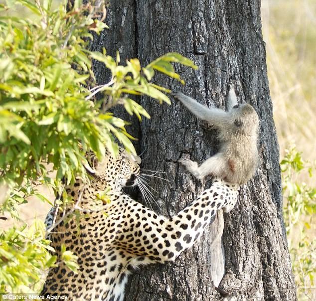 Ngoạn mục cảnh báo đốm vắt vẻo trên ngọn cây săn khỉ vervet - ảnh 1