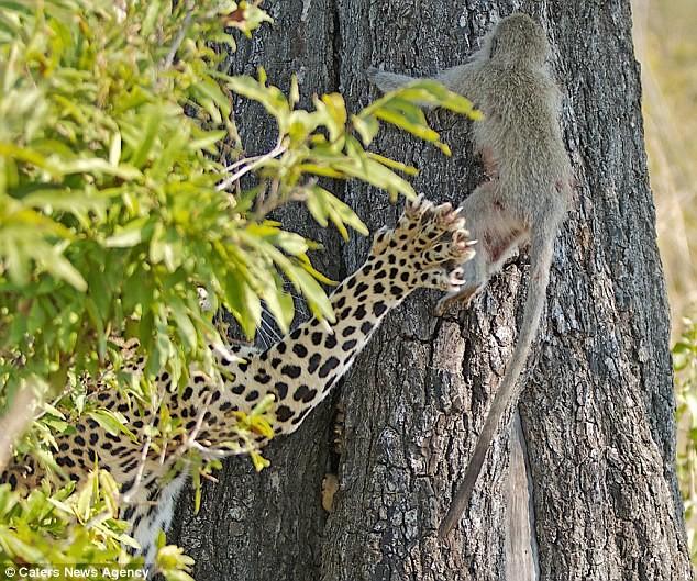 Ngoạn mục cảnh báo đốm vắt vẻo trên ngọn cây săn khỉ vervet - ảnh 3