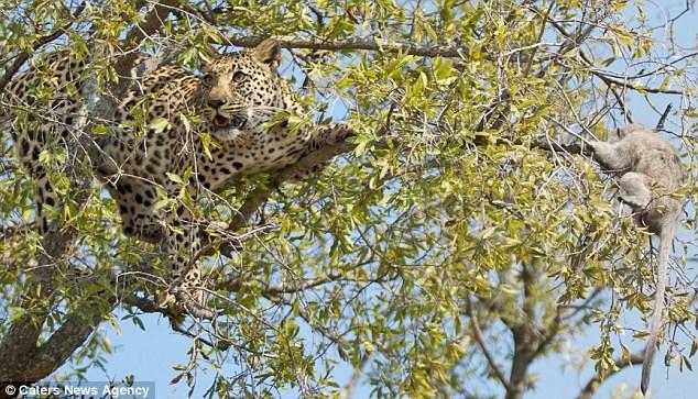 Ngoạn mục cảnh báo đốm vắt vẻo trên ngọn cây săn khỉ vervet - ảnh 5