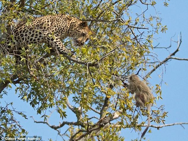 Ngoạn mục cảnh báo đốm vắt vẻo trên ngọn cây săn khỉ vervet - ảnh 6