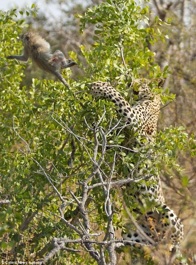 Ngoạn mục cảnh báo đốm vắt vẻo trên ngọn cây săn khỉ vervet - ảnh 7