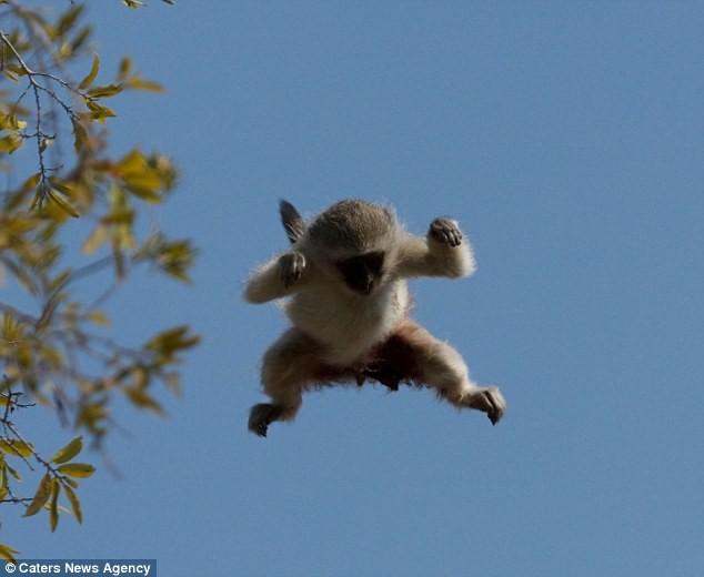Ngoạn mục cảnh báo đốm vắt vẻo trên ngọn cây săn khỉ vervet - ảnh 8