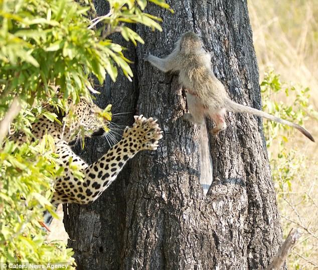 Ngoạn mục cảnh báo đốm vắt vẻo trên ngọn cây săn khỉ vervet - ảnh 2