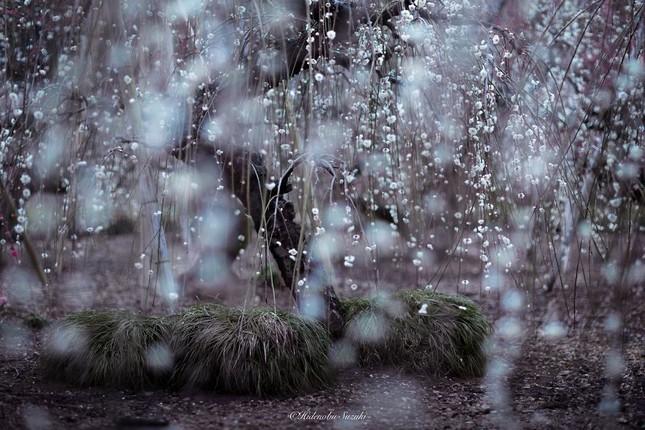 Ngắm vẻ đẹp ma mị của hoa mận Nhật Bản vào xuân - ảnh 2