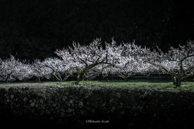 Ngắm vẻ đẹp ma mị của hoa mận Nhật Bản vào xuân - ảnh 3