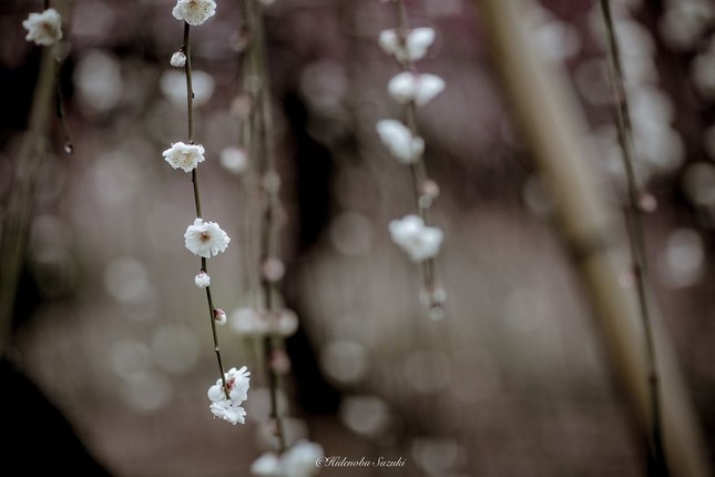 Ngắm vẻ đẹp ma mị của hoa mận Nhật Bản vào xuân - ảnh 5