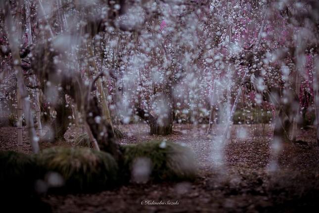 Ngắm vẻ đẹp ma mị của hoa mận Nhật Bản vào xuân - ảnh 1