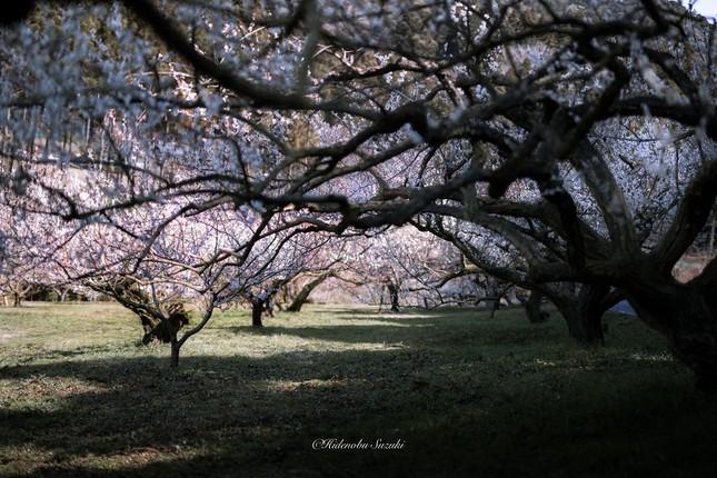 Ngắm vẻ đẹp ma mị của hoa mận Nhật Bản vào xuân - ảnh 9