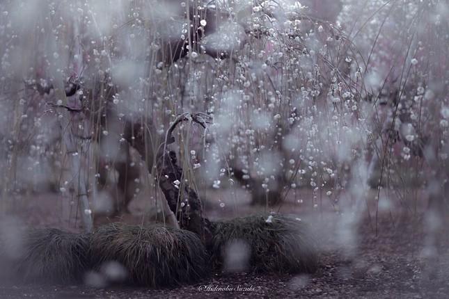 Ngắm vẻ đẹp ma mị của hoa mận Nhật Bản vào xuân - ảnh 6