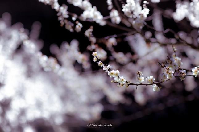 Ngắm vẻ đẹp ma mị của hoa mận Nhật Bản vào xuân - ảnh 8