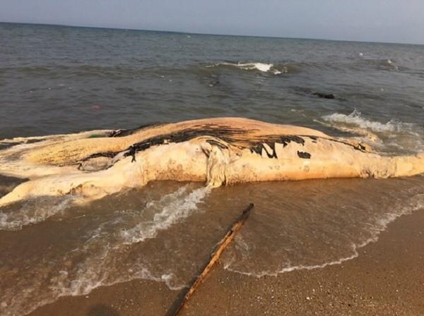 Quảng Bình: Xác cá voi nặng gần 5 tấn dạt vào bờ biển  - ảnh 1