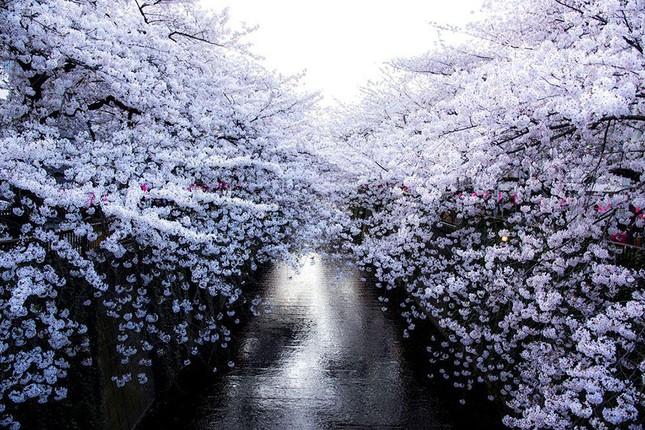 Những bức ảnh kiệt tác hoa anh đào trên tạp chí Nation Geographic - ảnh 1