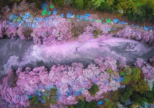 Những bức ảnh kiệt tác hoa anh đào trên tạp chí Nation Geographic - ảnh 15
