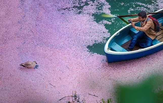 Những bức ảnh kiệt tác hoa anh đào trên tạp chí Nation Geographic - ảnh 14