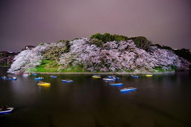 Những bức ảnh kiệt tác hoa anh đào trên tạp chí Nation Geographic - ảnh 12