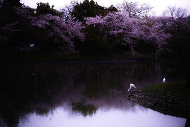 Những bức ảnh kiệt tác hoa anh đào trên tạp chí Nation Geographic - ảnh 11