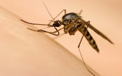 Việt Nam nuôi được muỗi phòng Zika ở Nha Trang? - ảnh 1