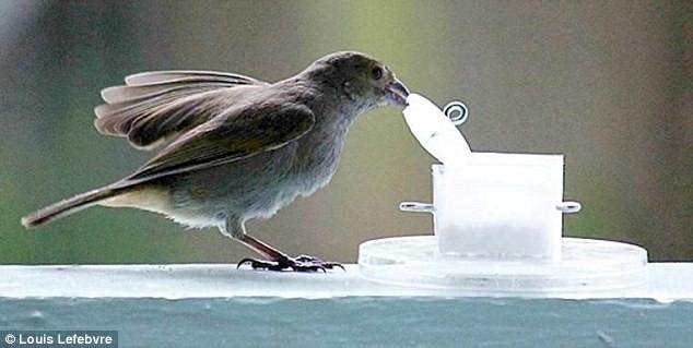 Chim sống ở thành phố thông minh hơn chim ở quê - ảnh 2