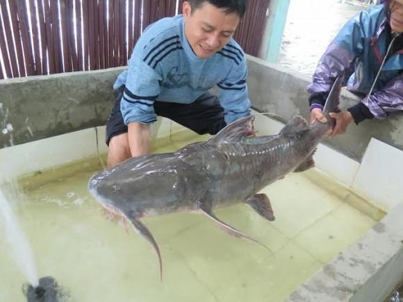 Đại gia chơi trội chi 70 triệu mua một con cá chiên về… đãi khách - ảnh 2