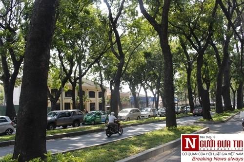 Nuối tiếc ngắm nhìn hàng cây cổ thụ trước giờ di dời ở TP.HCM - ảnh 3