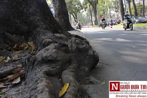 Nuối tiếc ngắm nhìn hàng cây cổ thụ trước giờ di dời ở TP.HCM - ảnh 5