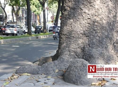 Nuối tiếc ngắm nhìn hàng cây cổ thụ trước giờ di dời ở TP.HCM - ảnh 6