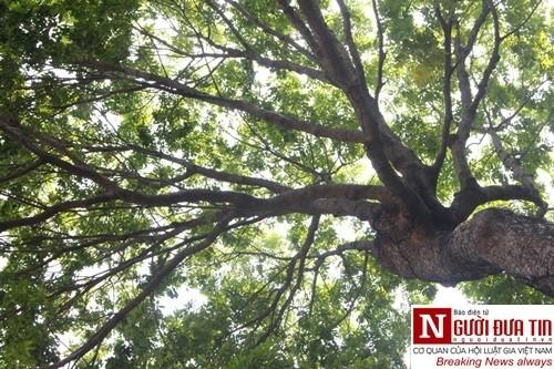 Nuối tiếc ngắm nhìn hàng cây cổ thụ trước giờ di dời ở TP.HCM - ảnh 8