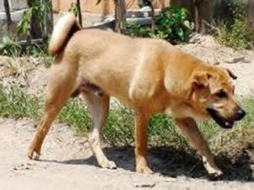 Thanh Hóa: Thai phụ tử vong do bị chó dại cắn - ảnh 1