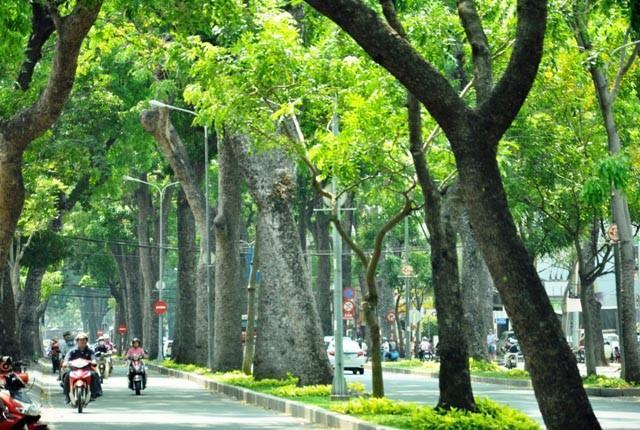 Không đốn hạ hàng sọ khỉ cổ thụ ở trung tâm Sài Gòn - ảnh 1